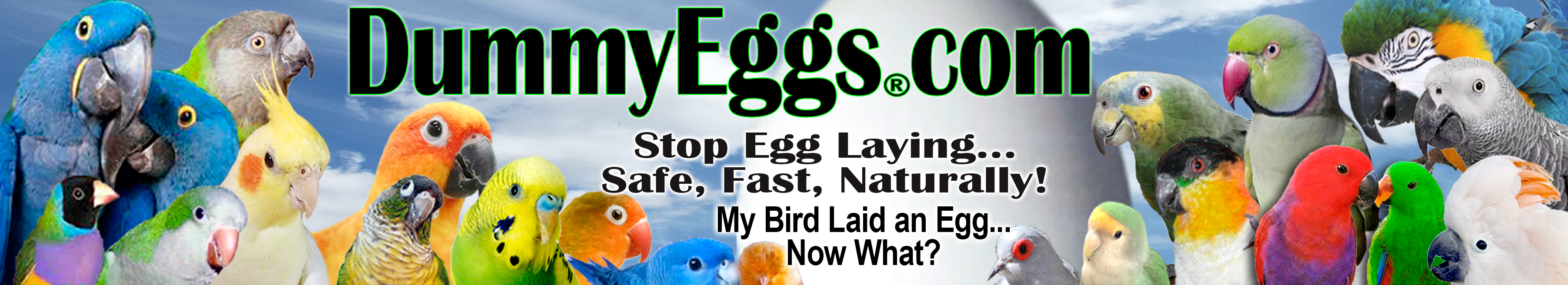 DummyEggs.com sells Dummy Eggs to stop egg laying in pet birds of all sizes. Solid Plastic Non-Toxic Fake Bird Eggs, control laying fast, safe, and naturally.