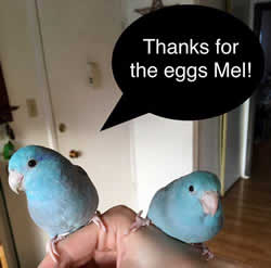 parrots who use fake eggs